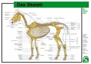 Lehr-/ Pferdetafel (A4) - Das Skelett