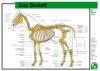 Lehr-/ Pferdetafel (Großformat) -  Das Skelett