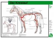 Lehr-/ Pferdetafel (A4) - Der Kreislauf