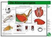 Lehr-/ Pferdetafel (A4) - Die Atmungsorgane