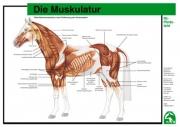 Lehr-/ Pferdetafel (A4) - Die Muskulatur