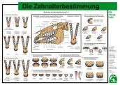 Lehr-/ Pferdetafel (A4) - Die Zahnalterbestimmung